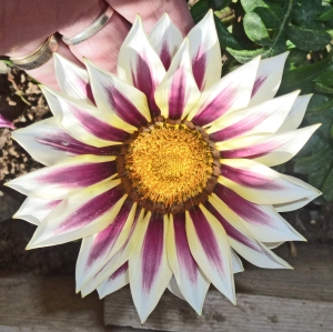 Gazania - white,mauve - Copy