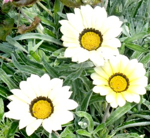 Gazanias - cream - Copy
