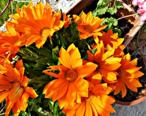 Gazanias, orange 1