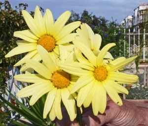 Gazanias, yellow