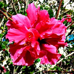 Hibiscus - pink close-up