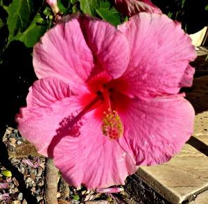 Hibiscus - pink