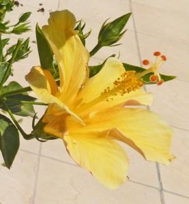 Hibiscus - yellow 1