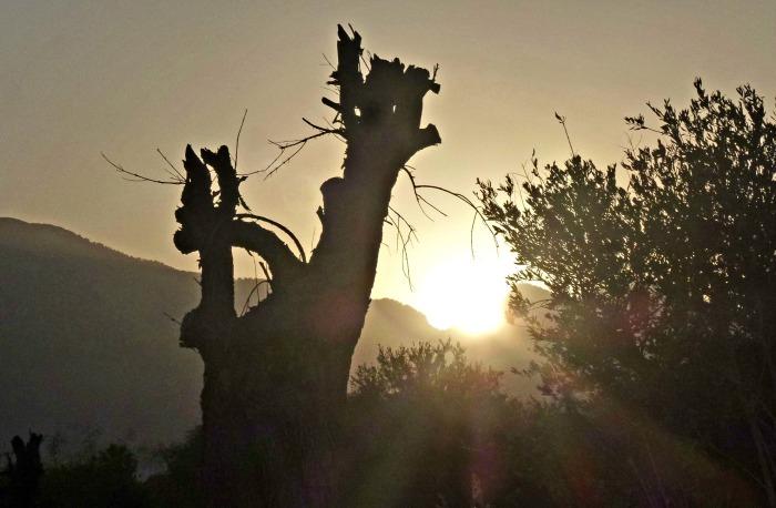 Olive Tree & Sun
