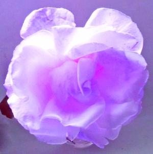Purple Rose in sunlight