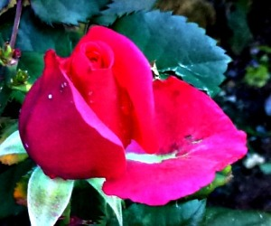 Rose - pink, front garden