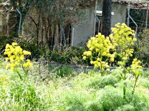 Wild asparagus, spring 2015