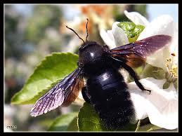 Black bumbleee