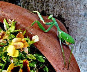 Praying Mantis, N Cyprus 1