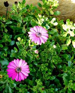 2016 Spring - pink veldt daisies