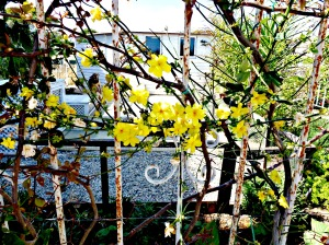 2016 Spring - Yellow flowering winter jasmine