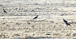 Crow family on paddock