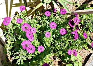 Spring 2016 - deep pink veldt daisies