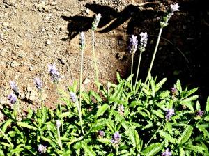 Spring 2016 - Lavender
