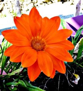 Spring 2016 - Orange gazania