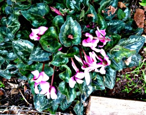 Spring 2016 - pink cyclamen