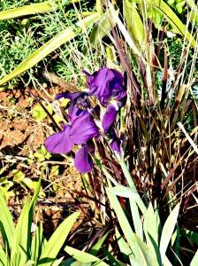 Spring 2016 - Purple iris