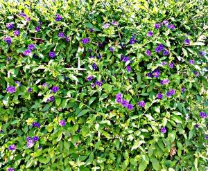 Spring 2016 - Solanum