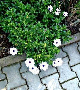 Spring 2016 - White veldt daisies
