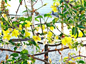 Spring 2016 - Yellow flowering winter jasmine
