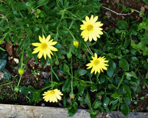 Spring 2016 - Yellow veldt daisies
