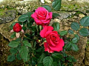 feb-2017-pink-roses