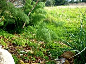 feb-2017-wild-fennel